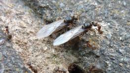 Black Garden Ants