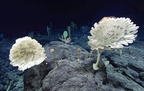 The Brilliant Abyss_ Exploring The Majestic Hidden Life Of The Deep Ocean (Credit_ NOAA Office of Ocean Exploration and Research, 2017 Laulima O Ka Moana).jpg